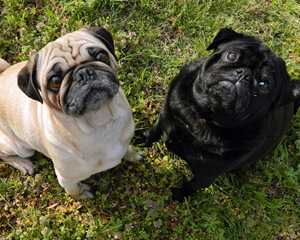 Pugs sitting on grass (main)