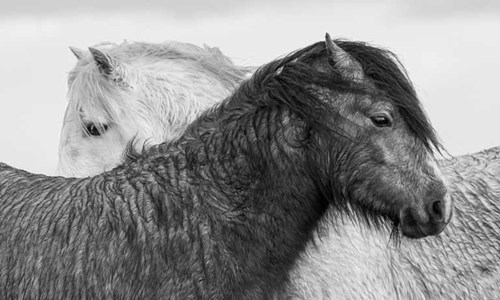 Pair of wild ponies on Long Mynd, Shropshire by Steve Ashman