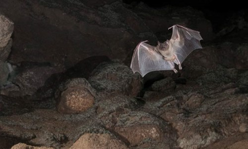 Egyptian fruit bat in flight