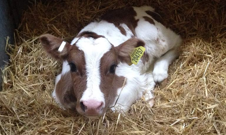 Analgesia in calf disbudding and castration  Listing Image