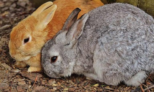 red and grey rabbits
