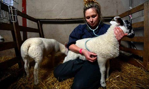 Vet with sheep
