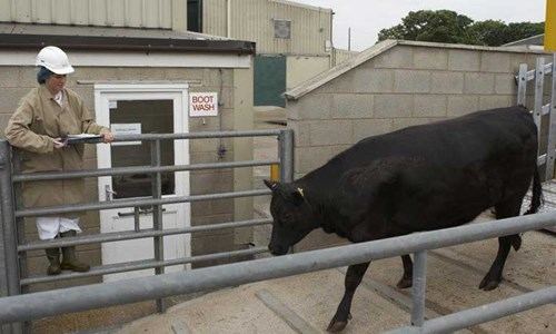 cow being checked by vet for transport
