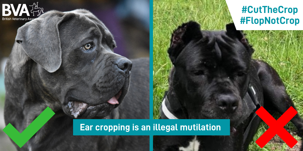 Vets call for legislative action as ear cropping petition crosses 100,000 milestone  Listing Image